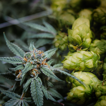Hops and Cannabis belong to the same family, Cannabaceae.