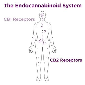 The Endocannabinoid System is made up of CB1 and CB2 receptors, located throughout the body.