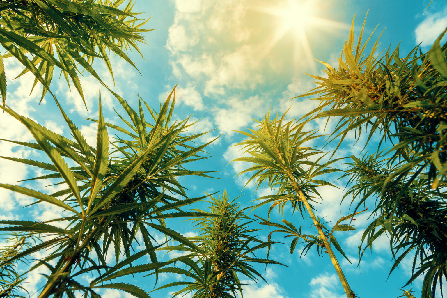 Cannabis is an excellent bioremediator, meaning it pulls contaminants from mediums like soil.